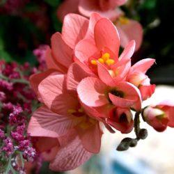Κλαδί Φρέζα ροζ