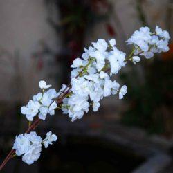 Κλαδί με λευκό λουλούδι, ύψους 90cm