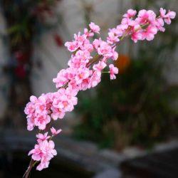 Κλαδί αμυγδαλιάς ροζ , ύψους 90cm